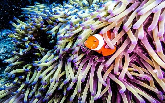 Clown fish spotted in the Great Barrier Reef
