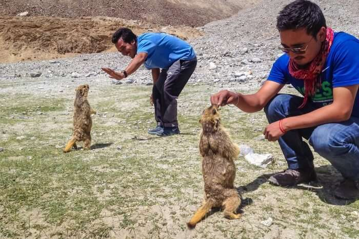 Travelers playing with marmots near Pangong lake