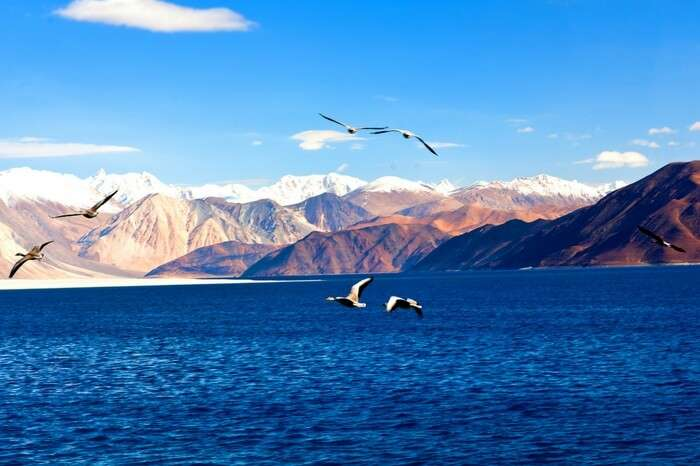 Ruddy shelducks flying off at Pangong Tso lake