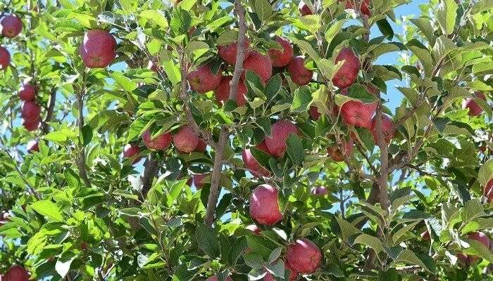 an apple tree