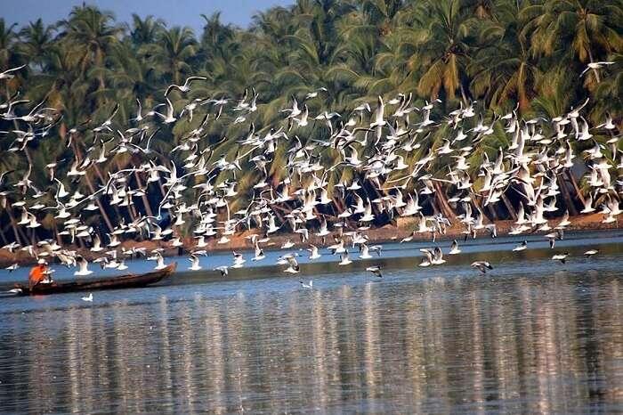 Numerous birds seen flying from the Payyoli Beach