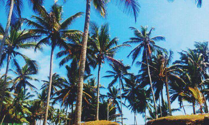coconut trees at kovalam