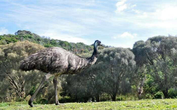 Australian Emu at Tower Hill Wildlife Reserve