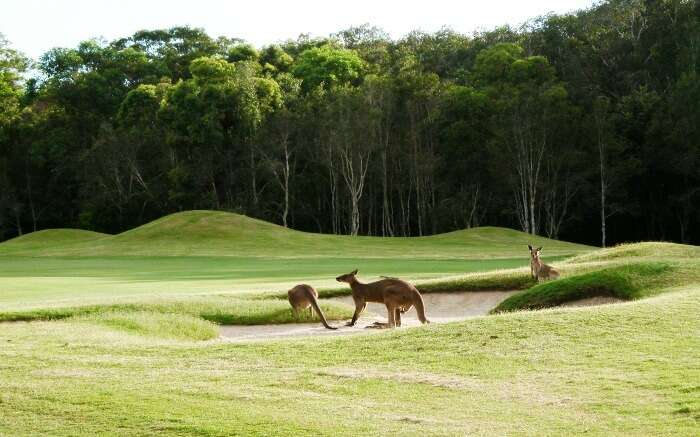 Kangaroos playing around in a golf course