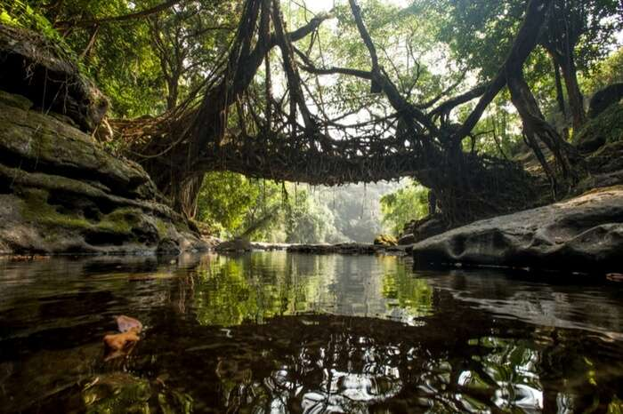 Living Root Bridge hanging over a stream in Shillong