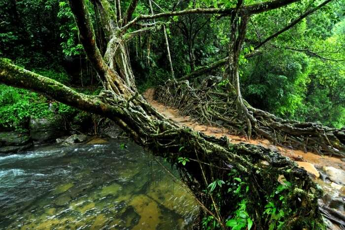 A view of Single Decker Living Root Bridge in Shillong