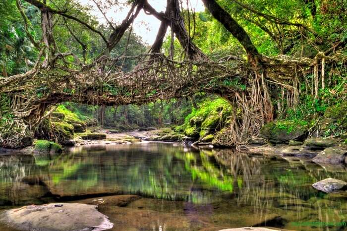 Living Root Bridge making a pleasant sight on a bright day