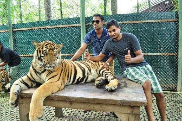 karthik taking pictures with a tiger in tiger kingdom