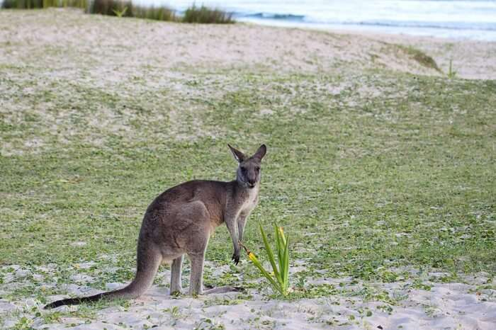 Kangaroos on the beach in Murramurang