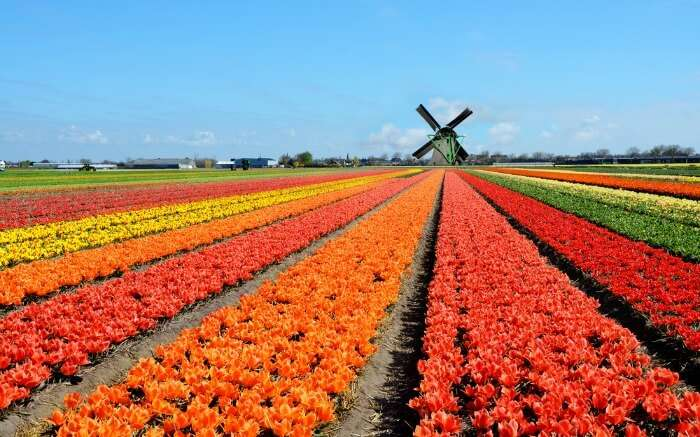 Dutch windmill and colorful tulips flowers in Holland