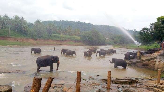 Elephants having a great time bathing