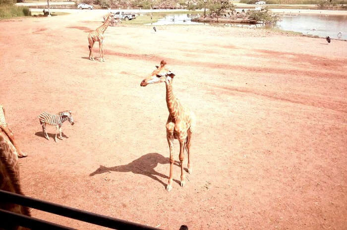Witnessing Giraffes in Safari World