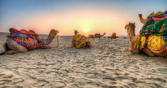 Camels sitting in a desert at sunset