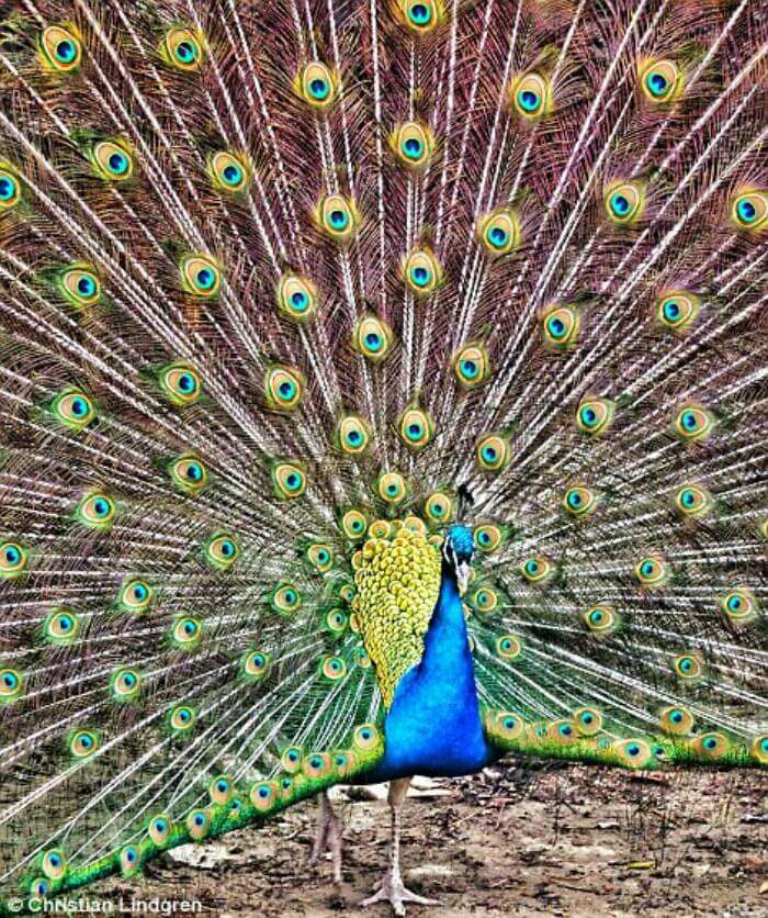 Watching a peacock put up a stunning show in the Bamboo Forest of Japan
