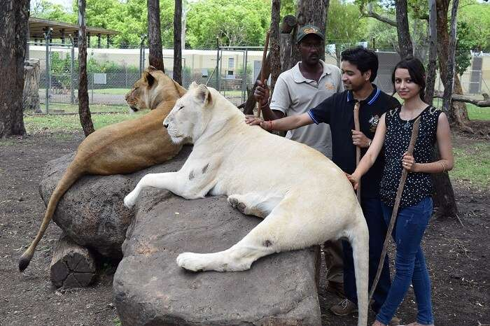 Couple with white lions in Mauritius