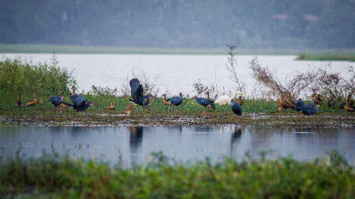 spot birds and reptiles in the marshes of Carambolim lake