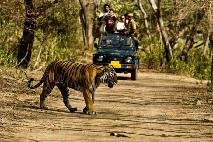 A tiger spotted in Jim Corbett National Park
