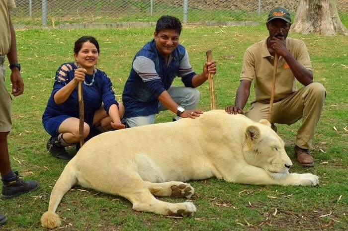 Interaction with lions at the Casela Nature Park