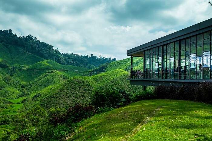 Tea Plantation at the Cameron Highland