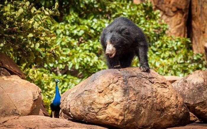A bear in Daroji Bear Sanctuary