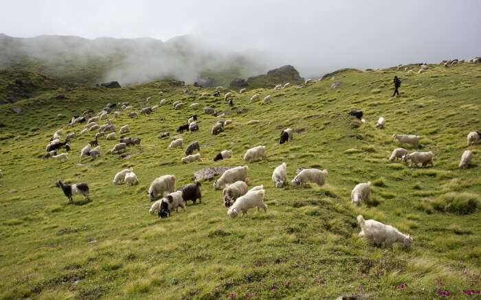 Herds of sheep in Auli