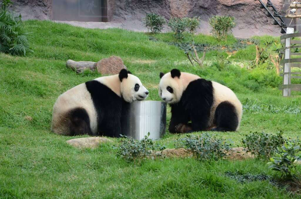 Two giant pandas playing with a steel drum in Seac Pai Van Park