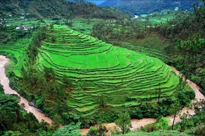 View of a terrace farm in Almora district of Uttarakhand