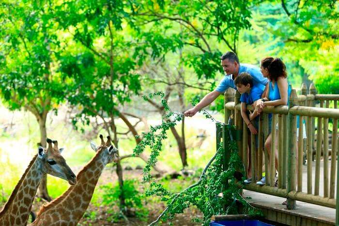 Giraffe feeding in Casela Nature park