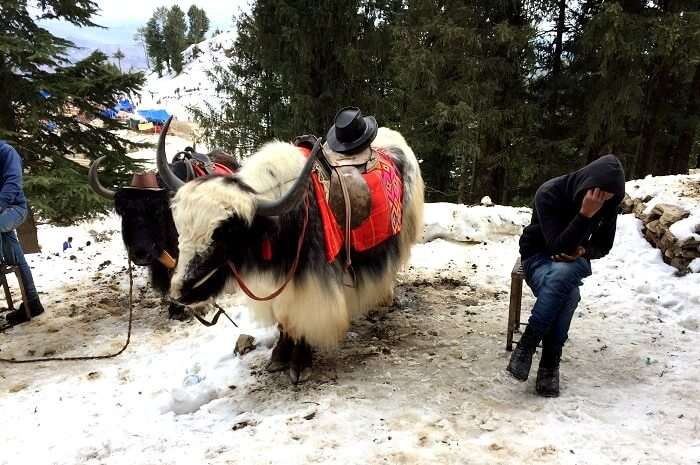 riding yaks in kufri