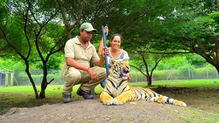 Interaction with tigers at Casela Nature Park
