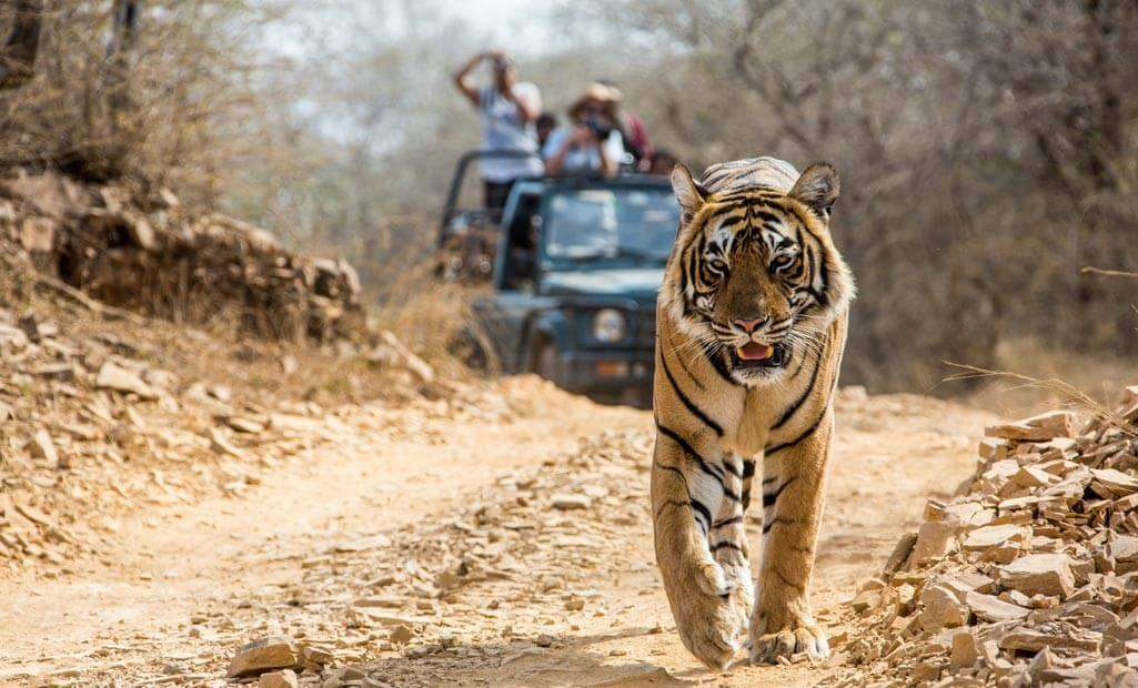 a Bengal tiger on the trails of Corbett National Park