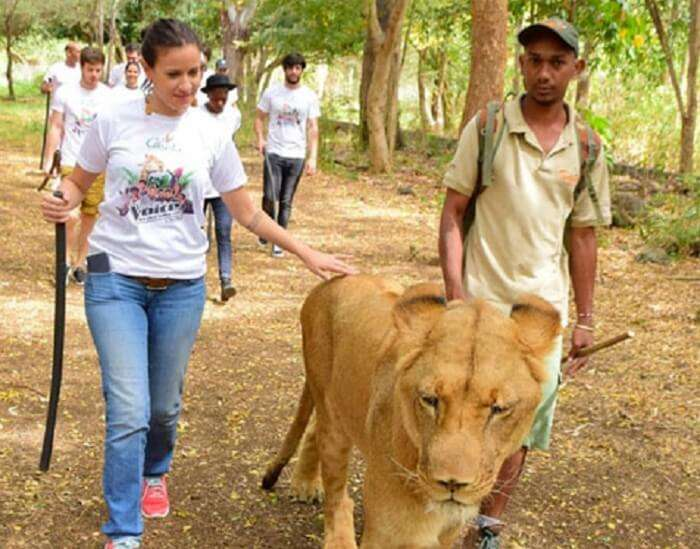 Walk with the lions at Casela nature park