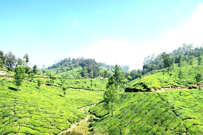 Photos of Munnar tea garden
