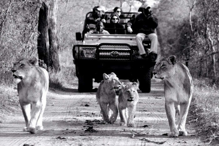 People watch lions and their cub walking past during a safari ride in South Africa
