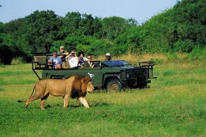 Honeymooners watching a lion walk past during a game watching in South Africa