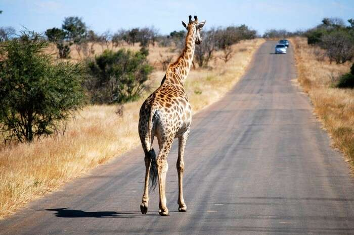 Giraffe crossing a road in Kruger National Park
