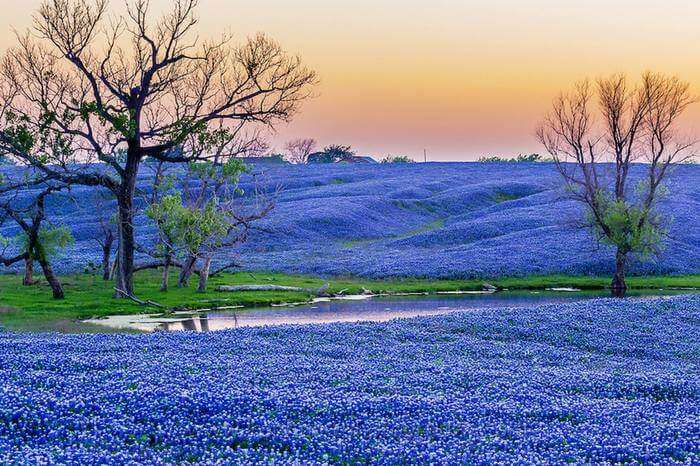 a valley covered with purple flowers