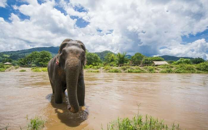 An elephant bathing in a river in Periyarss