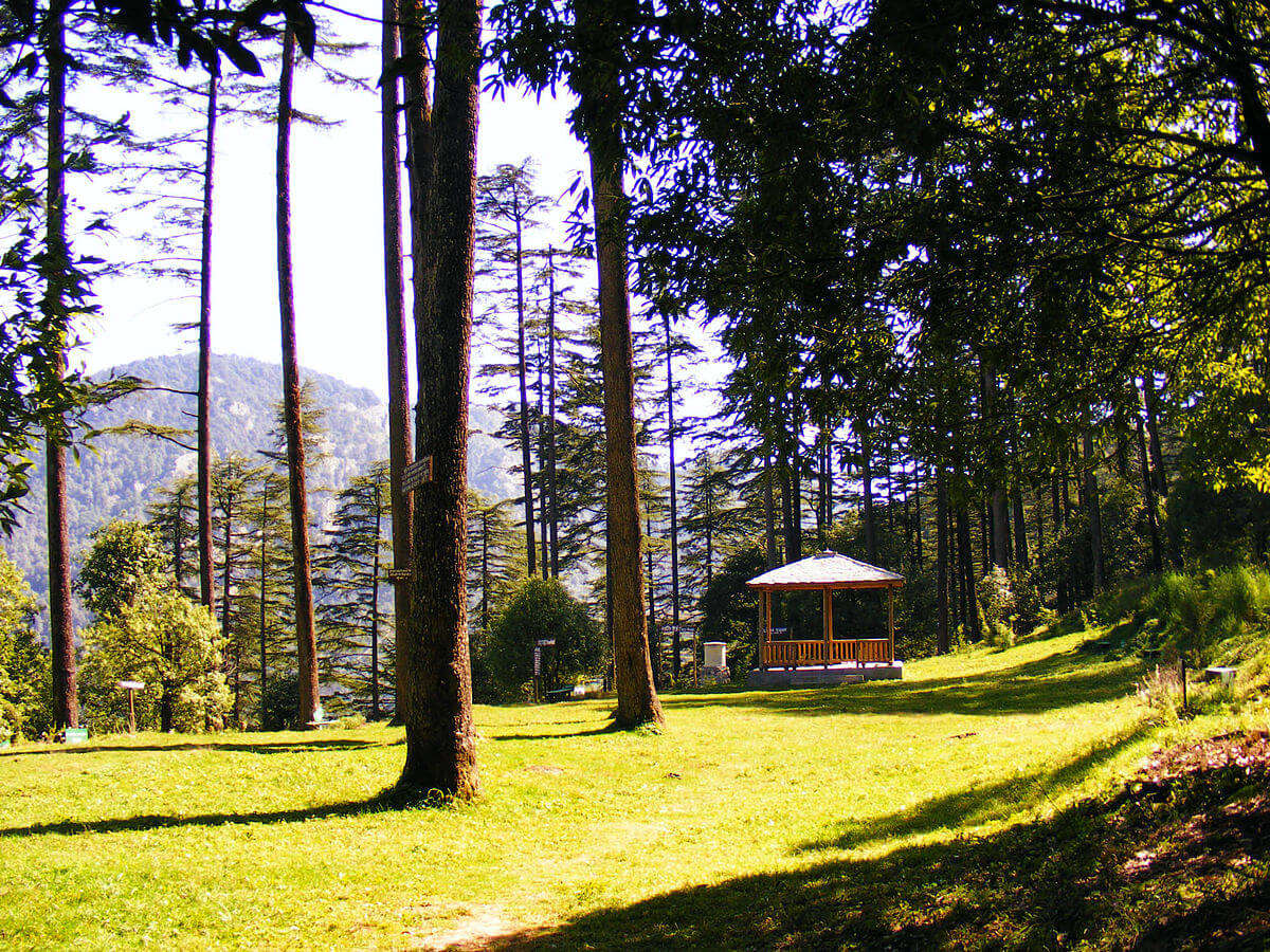 deodar trees in Dhanaulti