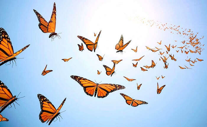 Numerous butterflies flying over the hilltop grasses at Butterfly beach