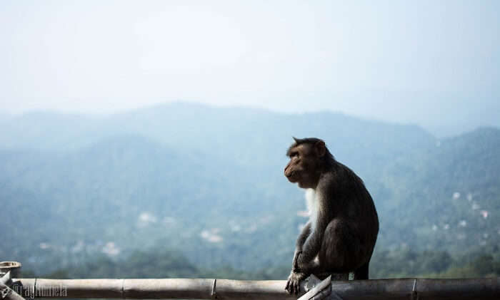 monkey in Thekkady, Kerala