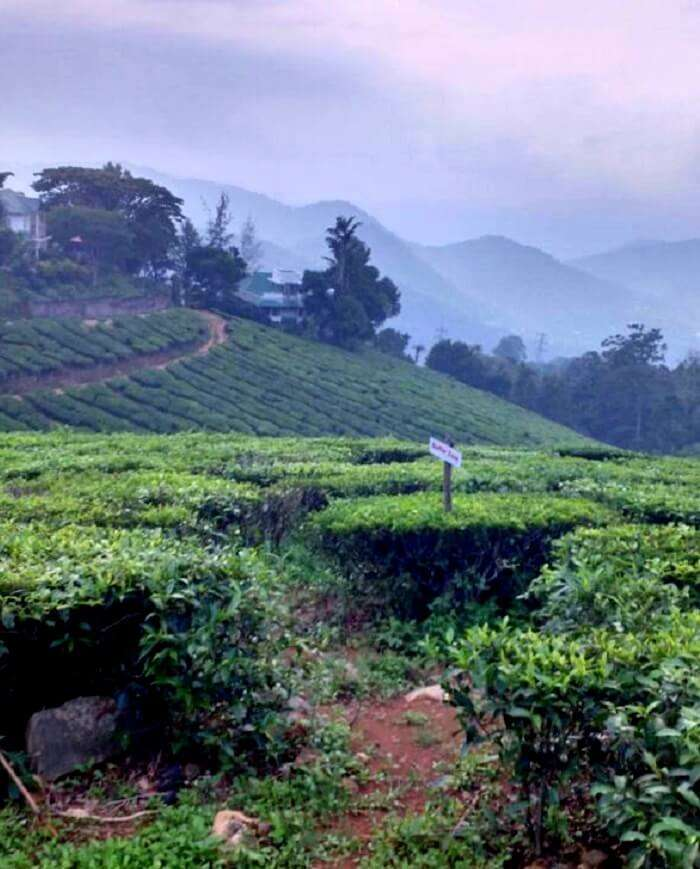 Beauty of munnar