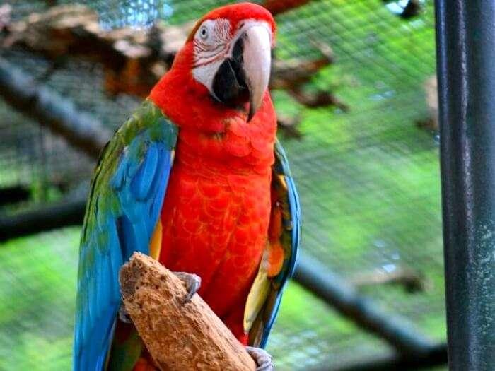 rare parrot in mauritius