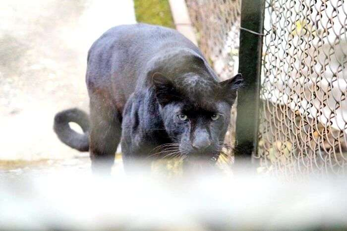 a black panther in motion