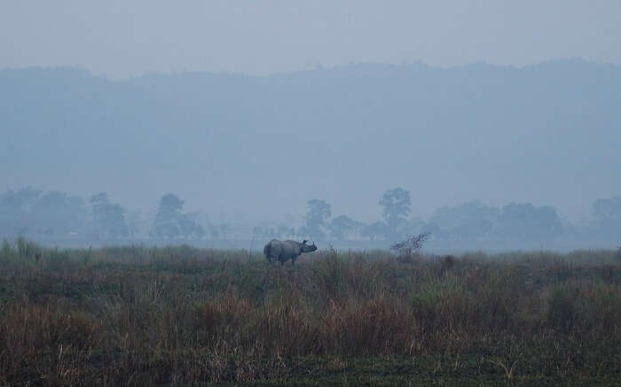 One-horned rhino in Kaziranga