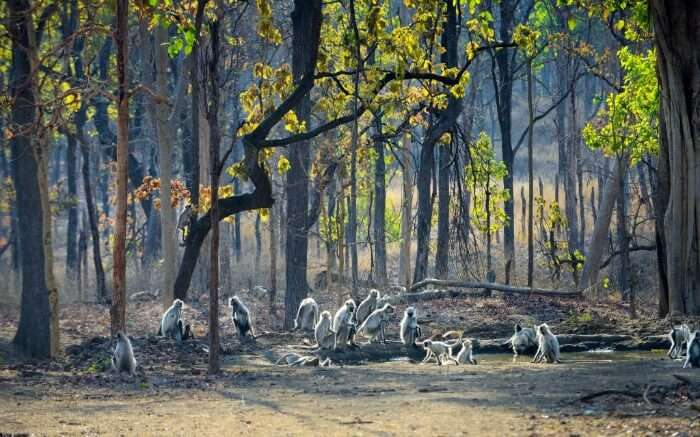 monkeys in national park fo Pench
