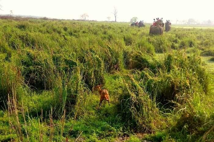 elephant safari in kaziranga