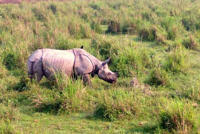 rhino in kaziranga