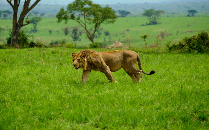Lioness in Elizabeth National Park in Uganda