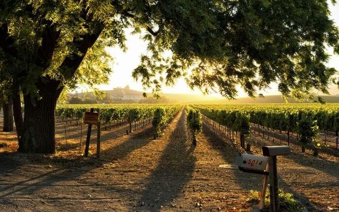 Vineyard in Nashik